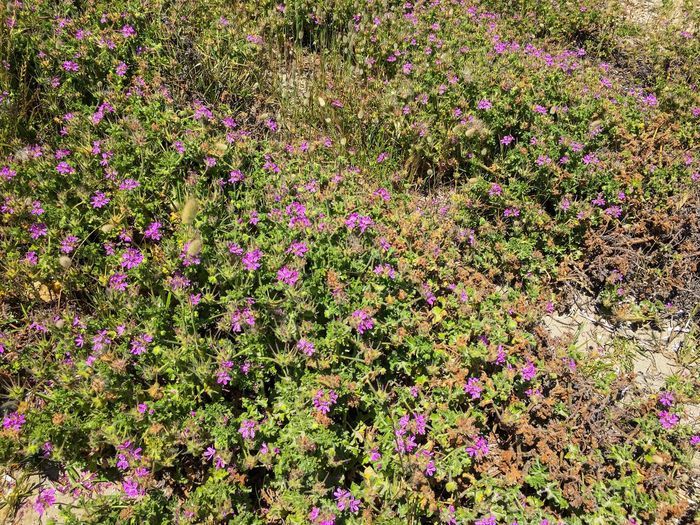 Pink wildflowers and vegetation a sea shore — Shoalwater Bay, Rockingham, Western Australia. Summertime Shoalwater Bay Rockingham Western Australia Sea Shore Beach Wildflowers Vegetation Colorful Purple Pink Green Color Warm Sunny Day October 2016 Flower Growth Nature No People Beauty In Nature Outdoors Freshness
