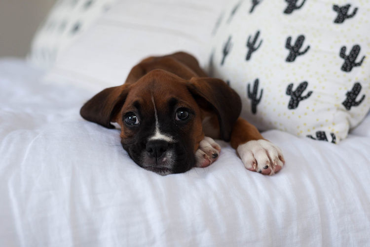Boxer dog puppy laying on white linen bed