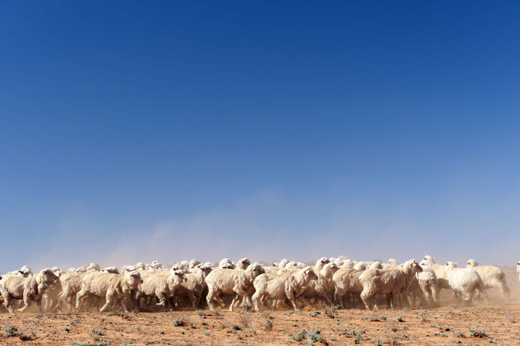 Arid Climate Australian Landscape Beauty In Nature Blue Clear Sky Copy Space Crowd Desert Field Grazing Herbivorous Horizon Over Land Landscape Mammal Nature No People Non-urban Scene Outdoors Plain Rural Scene Scenics Sheep Sky Tranquil Scene Tranquility
