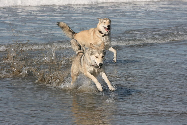 Dogs Fun Hobby Huskys Need For Speed Ocean Speed Water Playing In The Water Playing Dogs Capture The Moment California Pacific Ocean Chance Encunters