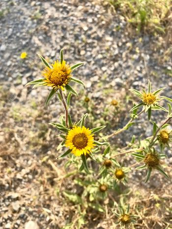 Flower Flowering Plant Plant Freshness Fragility Yellow Beauty In Nature Vulnerability  Flower Head Petal Nature No People Day Focus On Foreground High Angle View Selective Focus