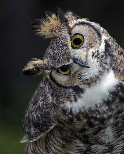 Owl looking askance Looking At You Owl Portrait. Wise Old Owl Animal Themes Animal Wildlife Askance Beak Bird Bird Of Prey Feather  Nature No People One Animal Outdoors Owl Owl Eyes Owl Photography Portrait