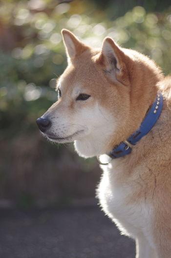 我が家のイケメン。二重あごだけど。(笑) One Animal Animal Themes Pets Dog Good Looking Good Looking!!❤ 玉ボケ 玉ボケ部