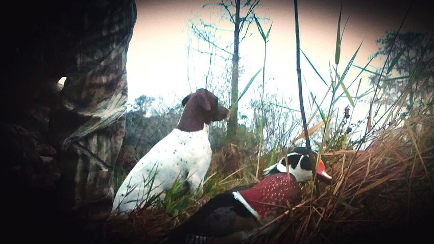 Woody Fowllife Birddogsofinstagram Birddogoftheday Birddog Southernretrievers Fowl King Of The Fall Ratherbehunting Softmouth Gsp Deadbird Check This Out Simplistic Beauty Nature Photography Pookie  Hunting Dog Florida Life German Shorthaired Pointer Shotgun Dog Water Reflections Pointer Duck Pond Bestfriend Cypress Trees