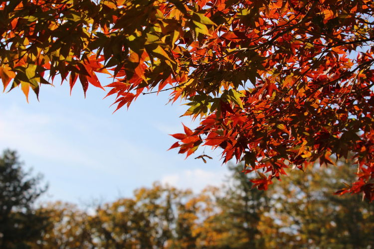 Feel the Autumn Autumn Nature_collection Leaf Orange Color Branch Beauty In Nature Maple Tree Maple Leaf Tranquility Outdoors Natural Condition Autumn Collection Fall Leaves Change Tree Plant Part Plant Growth Nature Day Focus On Foreground Low Angle View Red No People