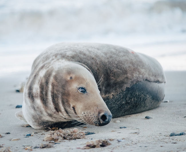 Close-up of a seal lying on beach