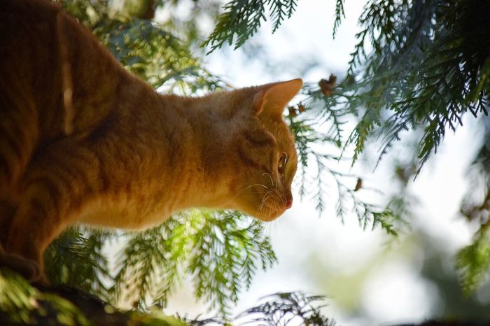 Peanut in a tree Domestic Cat Domestic Animals Animal Themes Mammal Pets Tree One Animal Feline No People Nature Low Angle View Outdoors Close-up Day Sky Cats Cats Of EyeEm Ginger Cat Pet Photography  Feline Portraits Pets Of Eyeem My Pets Backyard Photography Outside Photography Pet