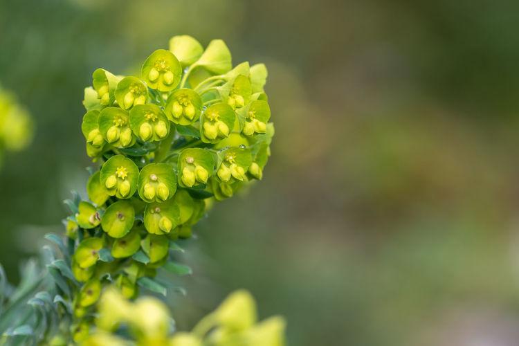 Euphorbia flowers in bloom