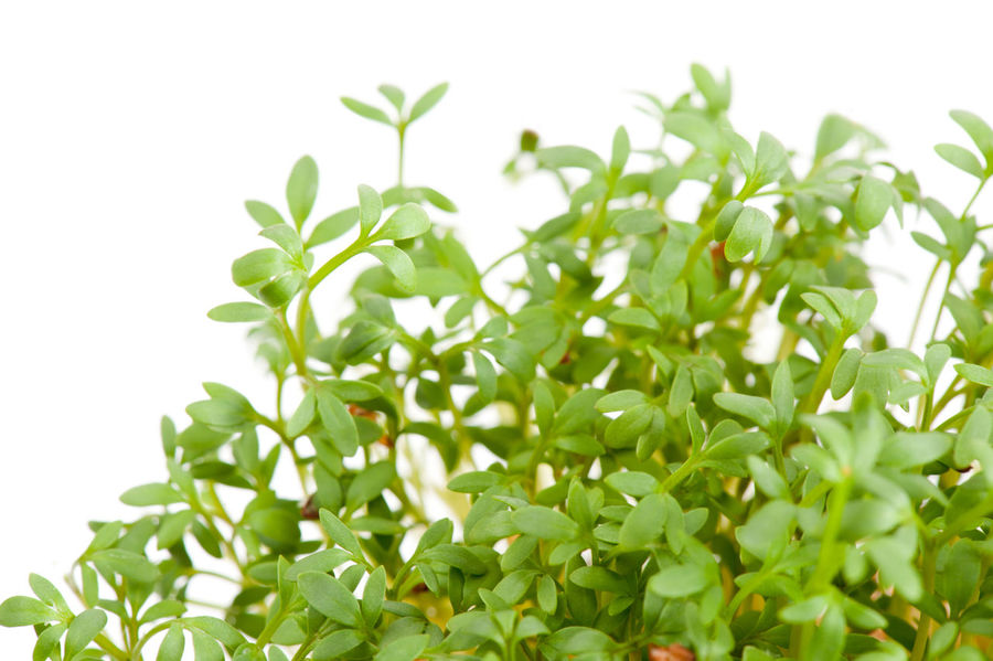 Many Lepidium sativum or cress sprouts grow on white isolated background, detail of healthy edible sprouting plants, horizontal orientation, nobody. Bittercress Brasicaceae Burgeon Cress Cuckooflower Food Greens Herb Leaf Lepidium Nature No People Pepperwort Pinnule Plant Plant Plants Sprout Sprouted Sprouting Sprouts Watercress White Background