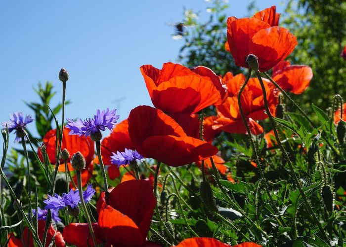 Close-up of orange poppy flowers blooming in park