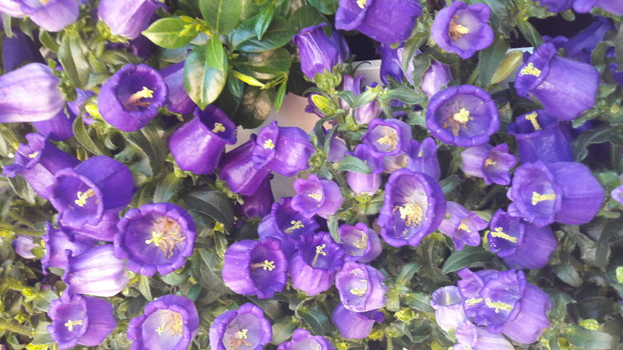 Purple Flower Beauty In Nature Backgrounds Flower Head