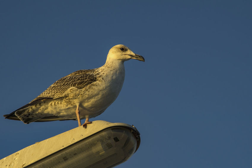 Bird Photography Animal Animal Themes Bird Blue Bluesky Clear Sky Copy Space Day Low Angle View Nature No People One Animal Outdoors Perching Seagull Sky Vertebrate Yellow