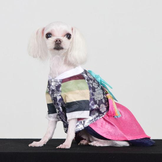 한복 전통적인 아름다운 Pets Portrait Dog Pet Clothing Studio Shot