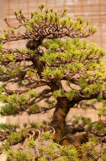 Bonsai Bonsai Tree Close-up Day Fragility Freshness Green Color Growth Herb Indoors  Nature No People Plant