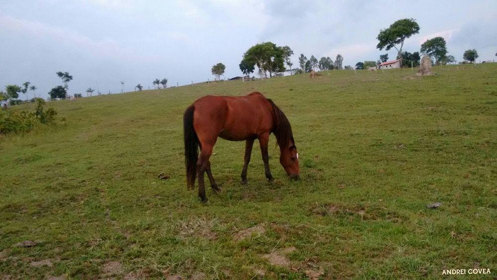 Série: Animais - Égua no pasto - Matogrosso Cavalos Cavalo