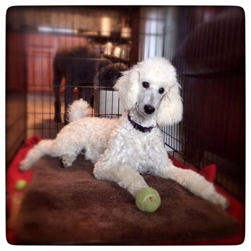 Cute Pets I Love My Dog Dog My Dogs Are Cooler Than Your Kids Pets Standard Poodle Animals EyeEm Best Shots Light And Shadow