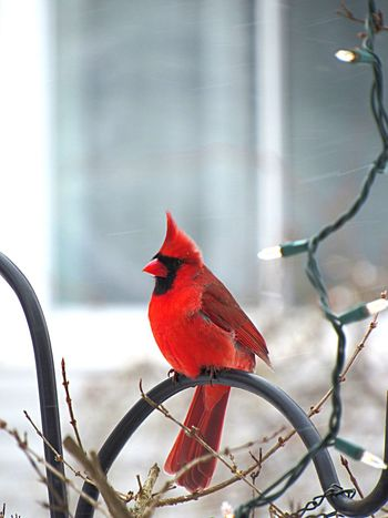 Proud male perched Male Redbird Wildlife Photography Cardinal Perching Bird Red One Animal Animal Themes Animals In The Wild No People Nature Animal Wildlife Outdoors Day Focus On Foreground Beauty In Nature Close-up