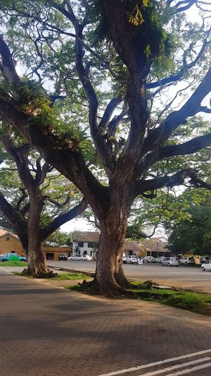 Tree Outdoors Day Nature Tropical Climate Sri Lanka Old Tree Dutch Fort Galle Fort Historical Tourism Tourism Destination Tree Street
