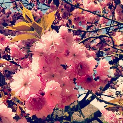 Spring Season  Blossom Beautiful tree life refresh nature colors instacolor instalife instanature instagramhub instagood picoftheday