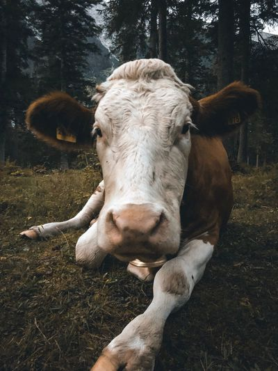 MUH. Cow Animal Animal Themes Mammal Vertebrate One Animal Tree Animal Wildlife Domestic Animals Day Pets No People Plant Domestic Nature Land Animals In The Wild Outdoors Animal Body Part Close-up