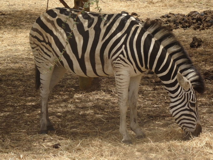 Bandia reserve African Safari Animal Themes Animal Wildlife Animals In The Wild Bandia Reserve Day Mammal Nature No People One Animal Outdoors Safari Side View Standing Striped Zebra EyeEmNewHere