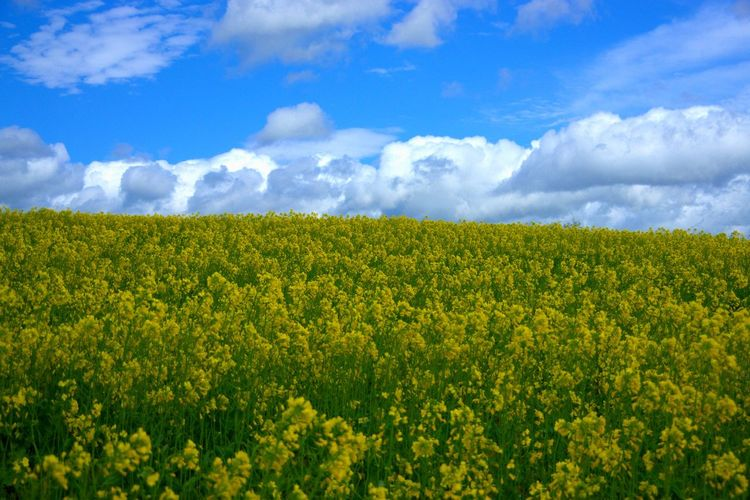 Beauty In Nature Plant Sky Land Field Growth Cloud - Sky Landscape Yellow Flowering Plant Scenics - Nature Flower Nature