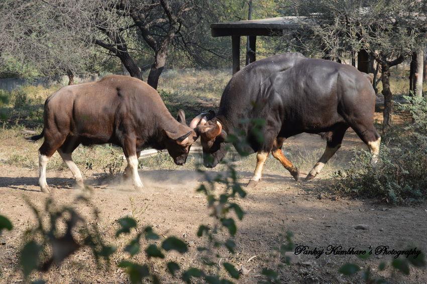Bullfight Bulls Wildlife Wildlife & Nature Wildlife Photography Fighting! Battle Animal Photography Jungle Shoot