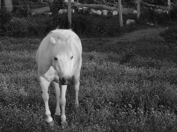 Animals Pets Black And White Photography Horses Country Life Farm Life Beauty In Nature Black&white Horse Photography  Miniature Horse Animal_collection Pony White Equestrian Life Livestock Domestic Animals Mammal Outdoors One Animal Animal Themes Equestrian Full Length No People