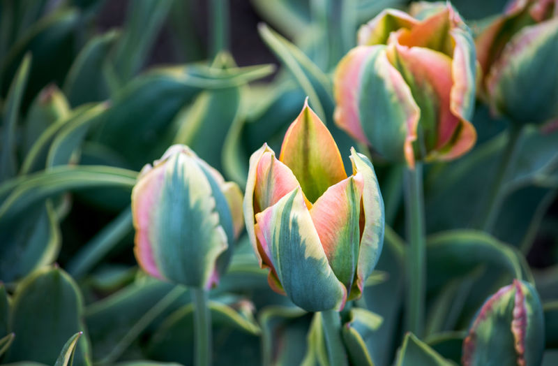 Close-Up Of Red Tulip Buds