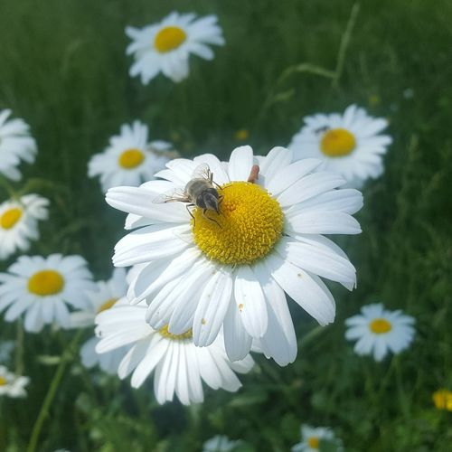 Close-up of insect on white daisy