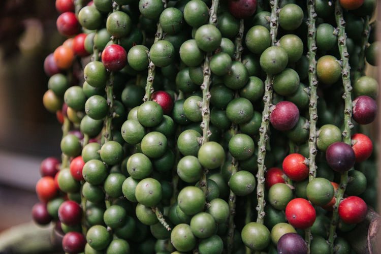 areca catechu fruit Thailand Abundance Agriculture Areca Catechu Fruit Backgrounds Betel Palm Close-up Day Food Food And Drink Freshness Fruit Full Frame Green Color Growth Healthy Eating Large Group Of Objects Macadamia Nuts Nature Plant Raw Coffee Bean Red Ripe Thai Tree Wellbeing