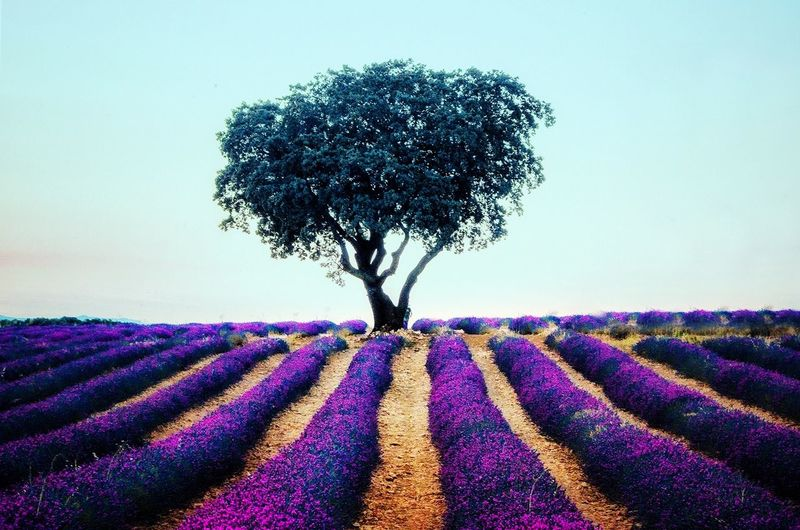 Árbol solitario #photography #EyeEmNewHere #EyeEm #lavanda Field Sky Close-up Landscape Plant Perfume