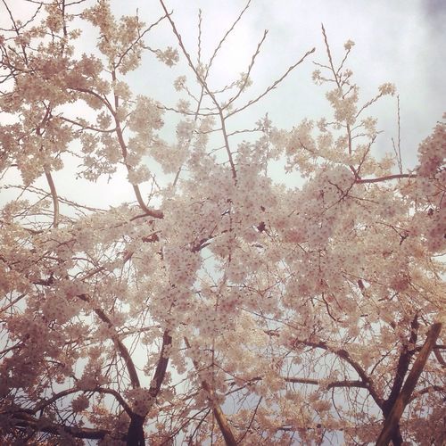 Sakura Hello World Spring Is Coming  EyeEm Tokyo サクラ 桜 さくら お兄ちゃん Akabane