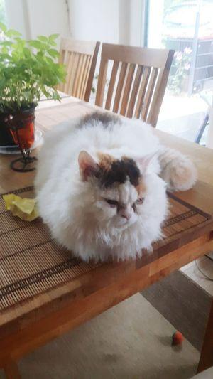 Selkirk Rex Selkirkrex Selkirk Plüschig Catsagram Cirratus Cats Table Sweets Sweet Sweet Cat Süße Katze