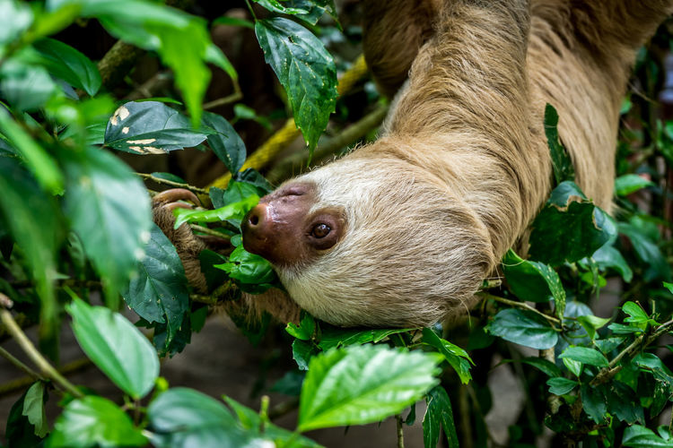 Upside down sloth hanging on tree