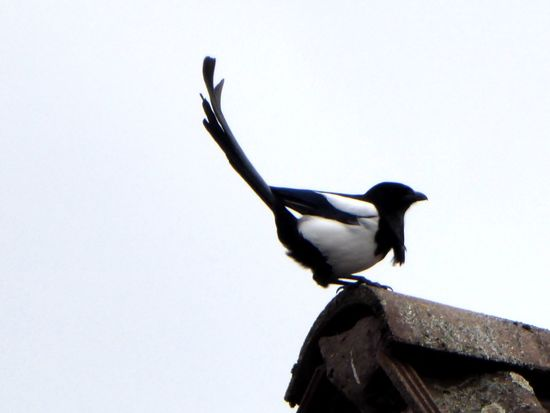 Magpie On A Roof Looking Up😍 Tranquil Scene Zoom ♡ Stormy Weather ☔ For My Friends 😍😘🎁 Animal Themes Animals In The Wild Animal Wildlife Close-up Bicycle Trip Bad Weather Good Mood