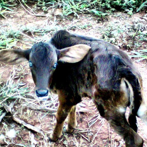 Olhosazuis Eyeblue Raridade Hi! Farm Animals Cows Sitio Nuncaviigual Myworld Paraguçu-mg