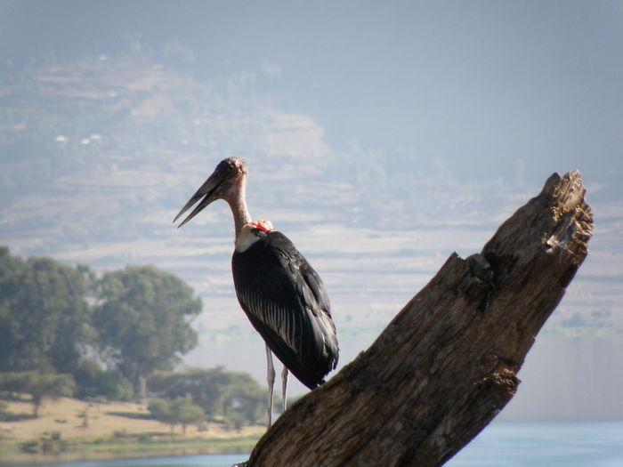 Ethipia, marabou stork Marabou Stork Visual Creativity Animal Wildlife Bird Nature No People Outdoors Side View Tree Water