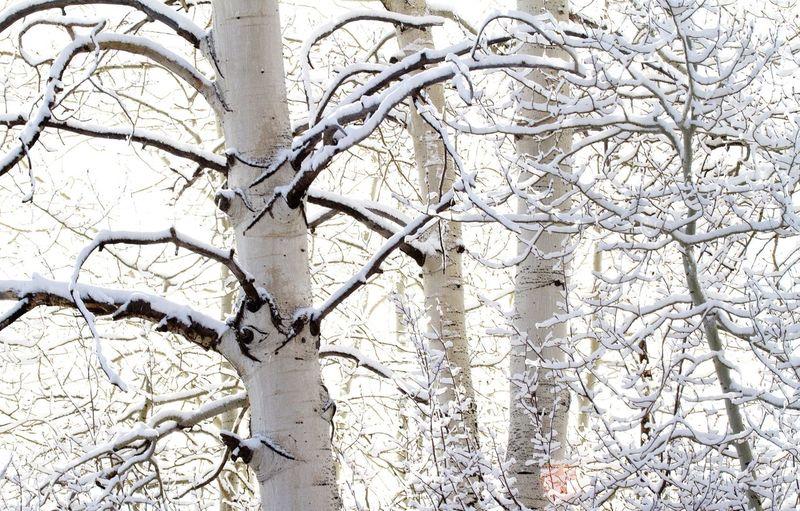 Nature_collection Aspen Trees Winter Scenics Colorado Snow Aspen, Colorado Landscape_Collection Tourism Landscape