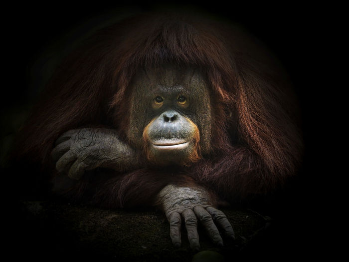 The Bornean orangutan (Pongo pygmaeus) is a species of orangutan native to the island of Borneo. Together with the Sumatran orangutan, it belongs to the only genus of great apes native to Asia. Like the other great apes, orangutans are highly intelligent, displaying advanced tool use and distinct cultural patterns in the wild. Orangutans share approximately 97% of their DNA with humans. The Bornean orangutan is a critically endangered species, with deforestation, palm oil plantations and hunting posing a serious threat to its continued existence Colors EyeEm EyeEm Best Shots Animal Themes Ape Black Background Close-up Day Endangered Species Light And Shadow Lying Down Monkey One Animal Orangutan Outdoors Pongopigmaeus Portrait