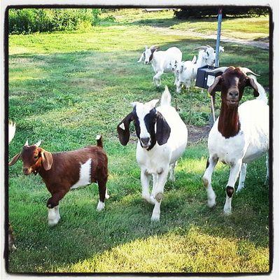 Nature Cute Goats Kansas Nature Lover Instanature Royalsnappingartists Weeklyfluff Rsa_rural Pets_perfection Ig_ruralamerica Rsa_ladies Trailblazers_rurex Trb_green_acres Daily_captures_cute Lovewell GoatCrossing Rr_renegade_barnyard