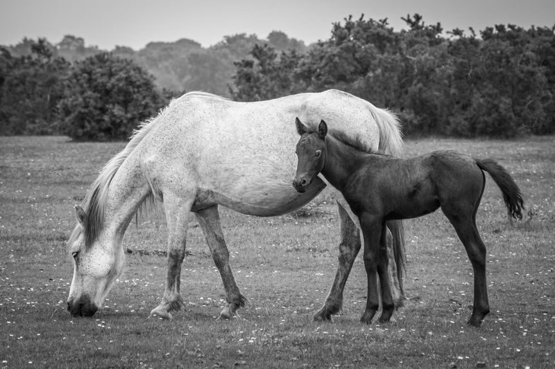 Side view of horse grazing with foal on field