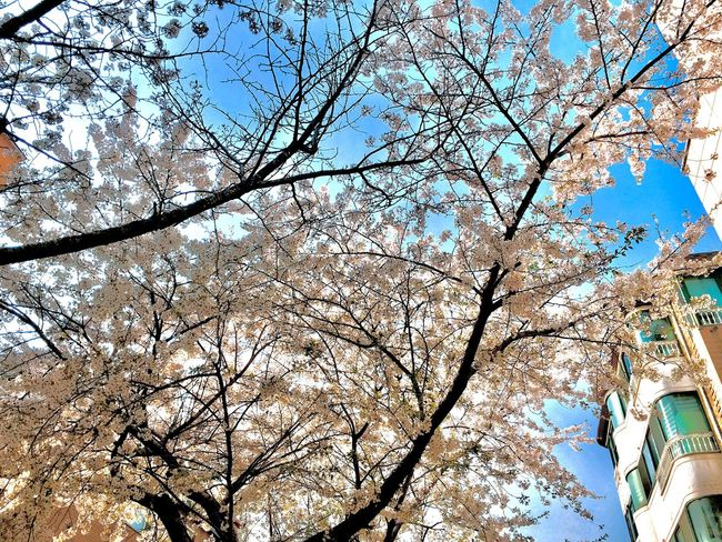 Koreanstyle Korea Cherry Blossoms Photography Travel Destinations Traveling Travel Tree Low Angle View Plant Branch Sky Nature Beauty In Nature Day Growth Full Frame Flower Built Structure Backgrounds Clear Sky