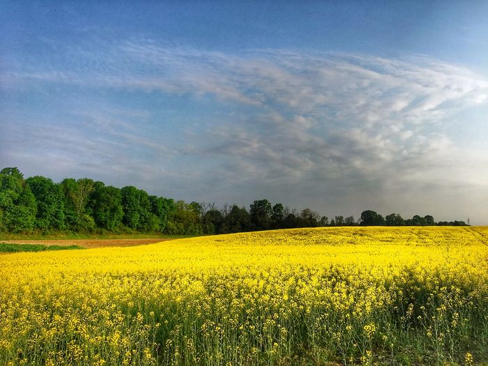 Yellow Plant Beauty In Nature Flower Landscape Sky Field Flowering Plant Scenics - Nature Land Growth Tranquil Scene Agriculture Rural Scene Tranquility Idyllic