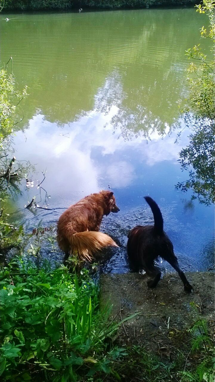 water, animal themes, domestic animals, mammal, lake, grass, no people, day, nature, green color, pets, dog, outdoors, swimming, togetherness, beauty in nature