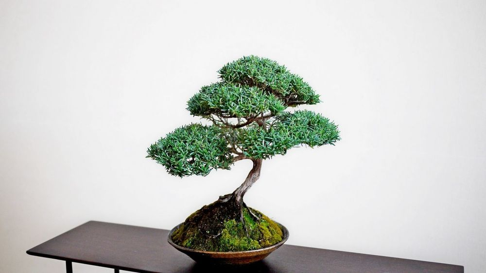 Bonzai Bonsai Tree Close-up Day Green Color Growth Indoors  Leaf Nature No People Plant Potted Plant Studio Shot Table Tree White Background