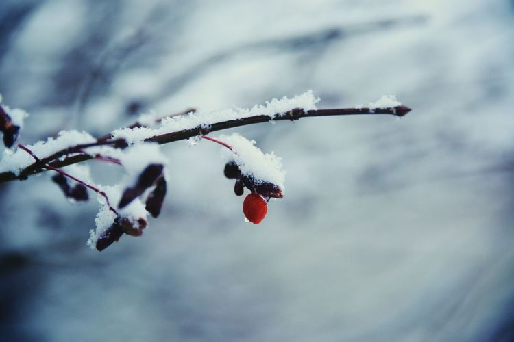 Single branch with a berry. Serene Peaceful Landscape Snow Covered One Red Berry Bird Food Burning Bush Nikon Cold Temperature Focus On Foreground Winter Nature No People Close-up Holiday Moments Snow Sky Fruit Day Frozen Branch Cloud - Sky Twig Berry Fruit Food Outdoors Plant Ice