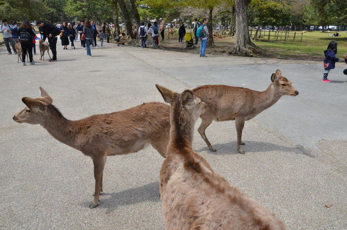 Three Sika deers in Nara park Adult Animal Themes Day Full Length Mammal Nara Nature Outdoors Park People Real People Sika Deer