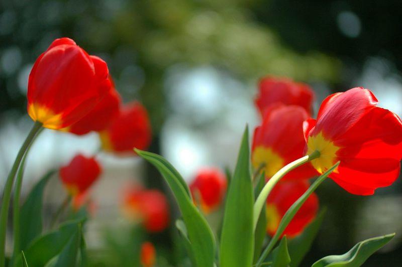 風が強かったね。 Hello World Tulip チューリップ Tulips🌷 春 Spring Colours Flower Collection Springfield Bokeheffect Spring Time Spring Flowers Showcase April EyeEm Flower Windy Day