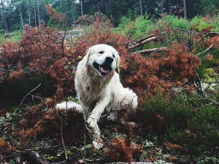 Tios in the forest. Goldenretriever Golden Mix